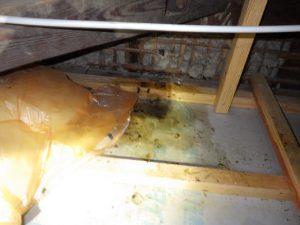 滋賀県彦根市 イタチが大量の糞が蓄積