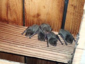 イタチではなくコウモリの住み着き